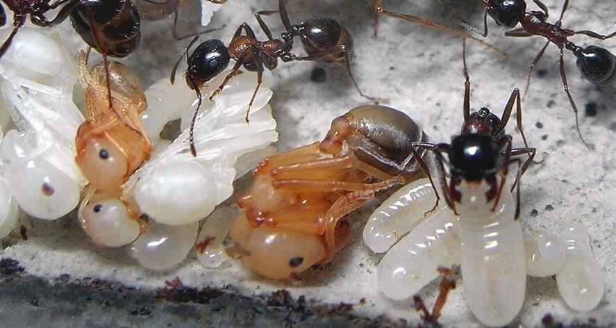 Уход за муравьиными фермами