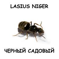 Lasius Niger — черный садовый